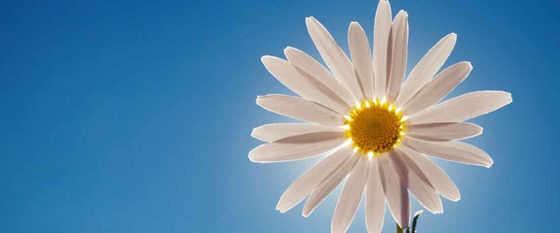 פרח חרצית