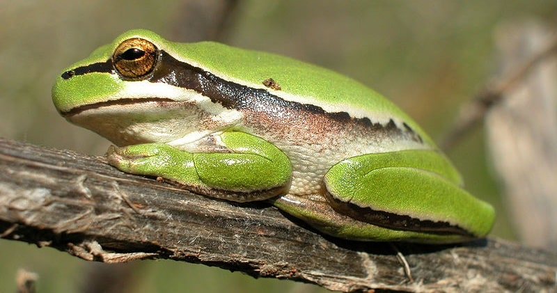 אילנית - Middle East tree frog