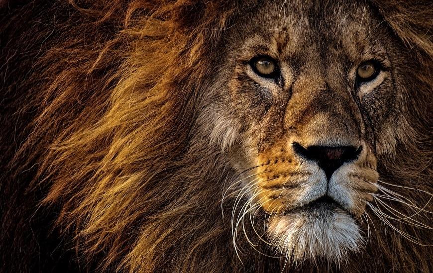 התוכן הוא המלך - אריה מלך החיות